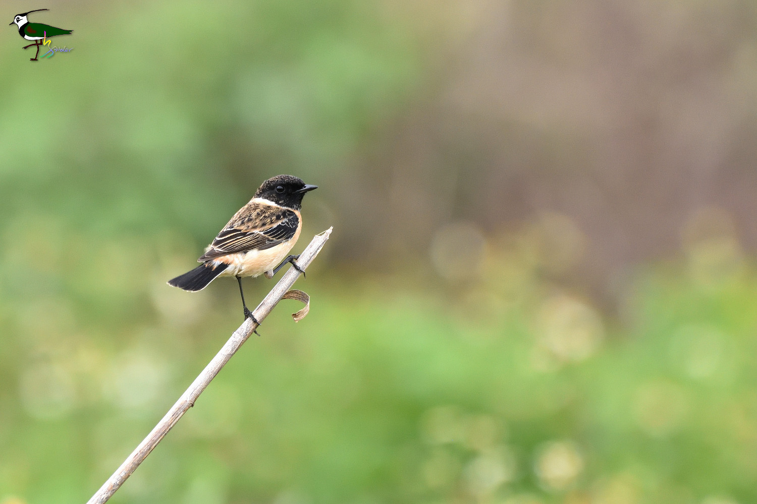 Common_Stonechat_2148
