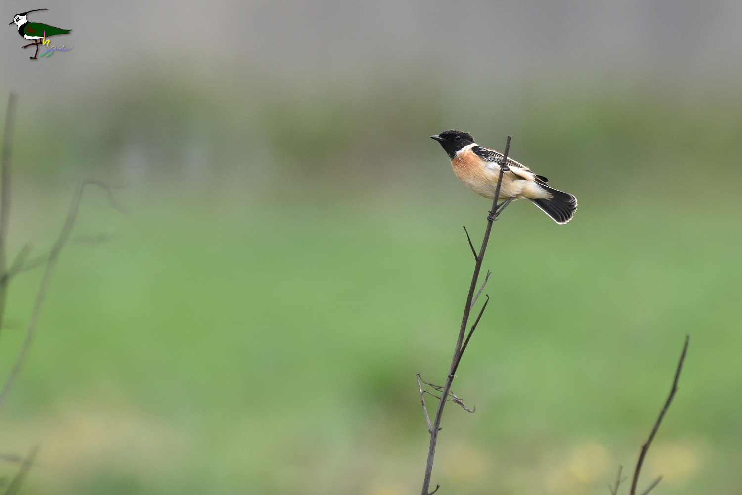 Common_Stonechat_2123