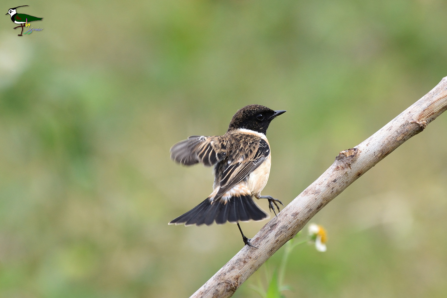 Common_Stonechat_2047