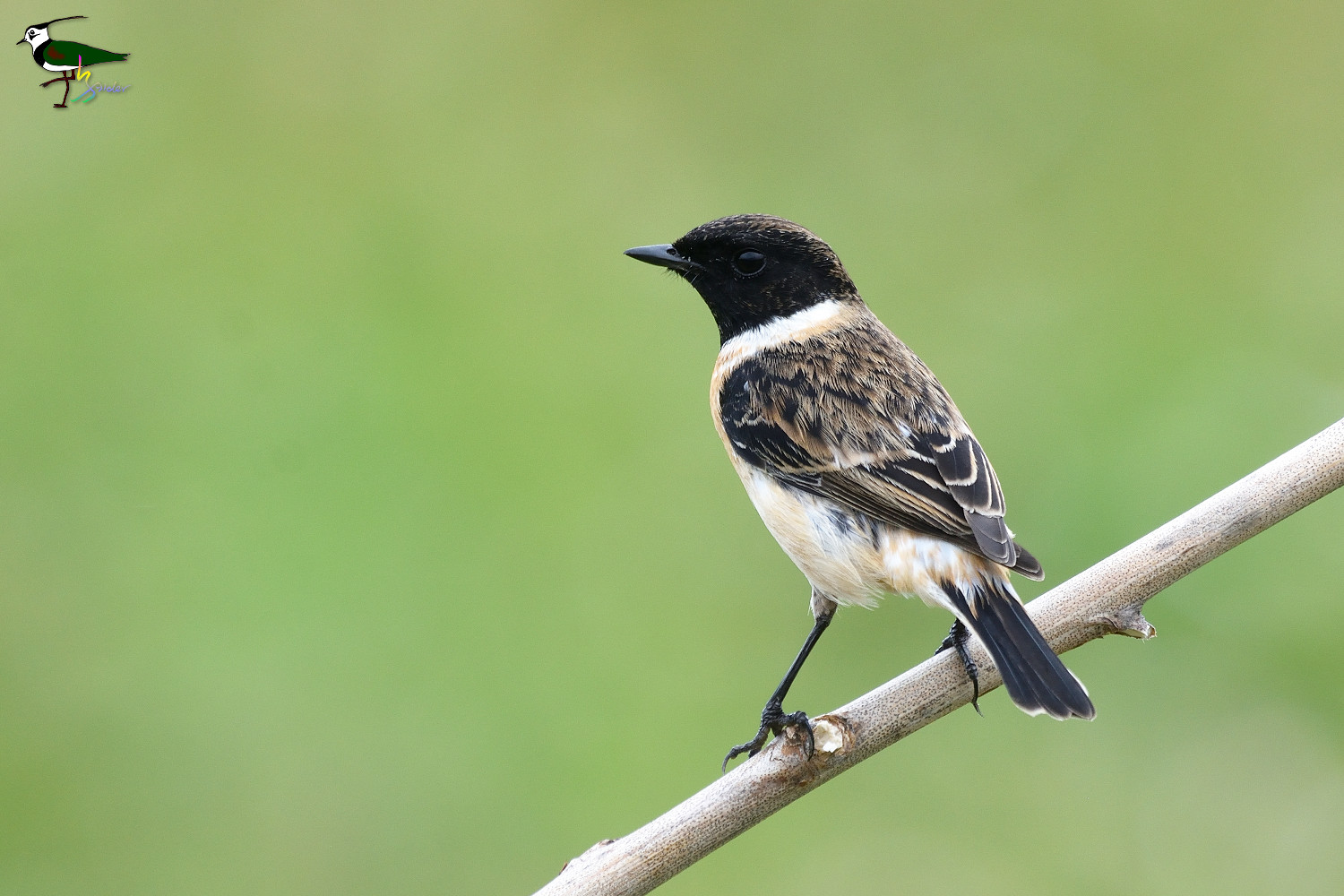 Common_Stonechat_2221