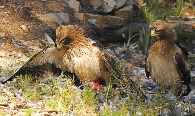 Booted Eagle (explored)