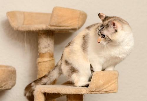Aruba, gata cruce siamesa dulzona y muy guapa esterilizada, nacida en Agosto´17, en adopción. Valencia.  48219372837_9f2d173a94