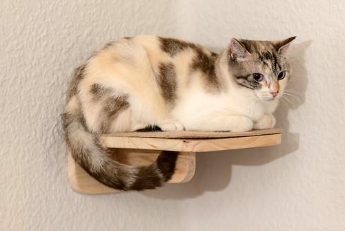 Aruba, gata cruce siamesa dulzona y muy guapa esterilizada, nacida en Agosto´17, en adopción. Valencia.  48219373162_a5a93bff3b