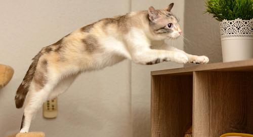 Aruba, gata cruce siamesa dulzona y muy guapa esterilizada, nacida en Agosto´17, en adopción. Valencia.  48219373442_62301b04f2