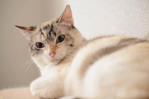 Aruba, gata cruce siamesa dulzona y muy guapa esterilizada, nacida en Agosto´17, en adopción. Valencia.  48219373737_04a2af1fc3
