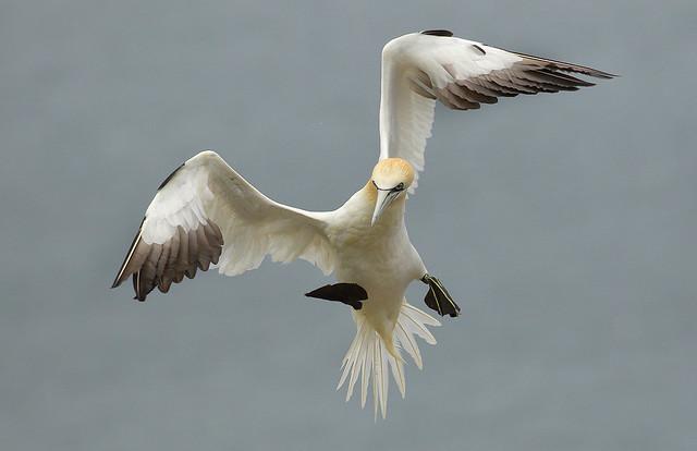 (Northern) Gannet