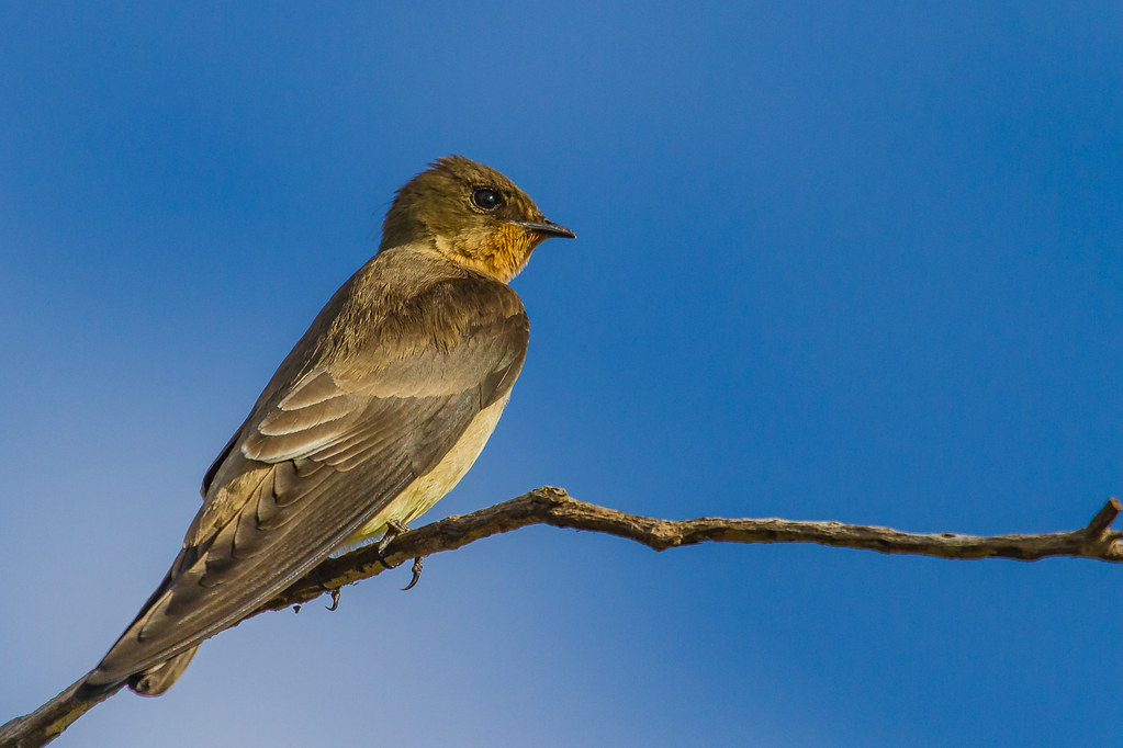 Southern Rough-winged Swallow - Brazilian Birds - Species # 283