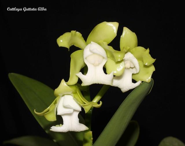 Cattleya Guttata Alba 48220231847_ed2bb19759_z