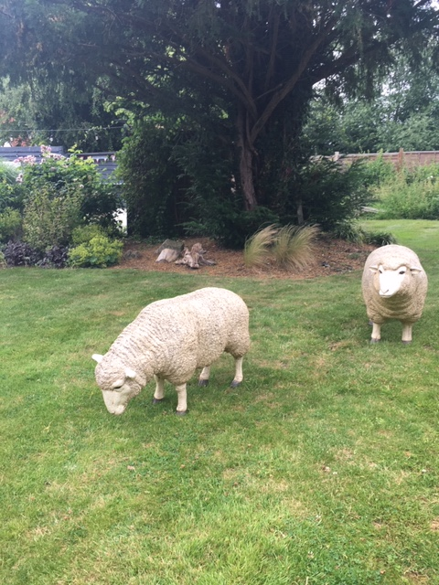 Fake Ewes In The Hoops' garden. Sawbridgeworth to Bishops Stortford