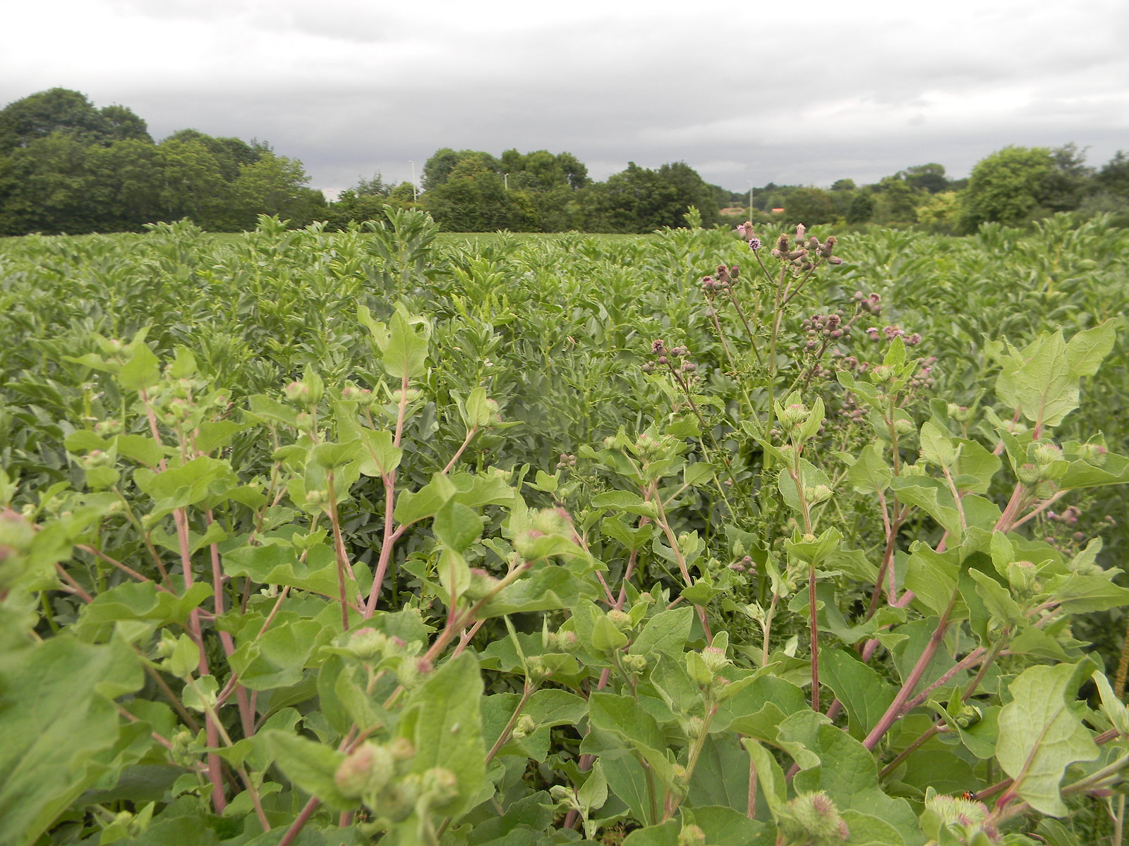 Burdock Sawbridgeworth to Bishops Stortford