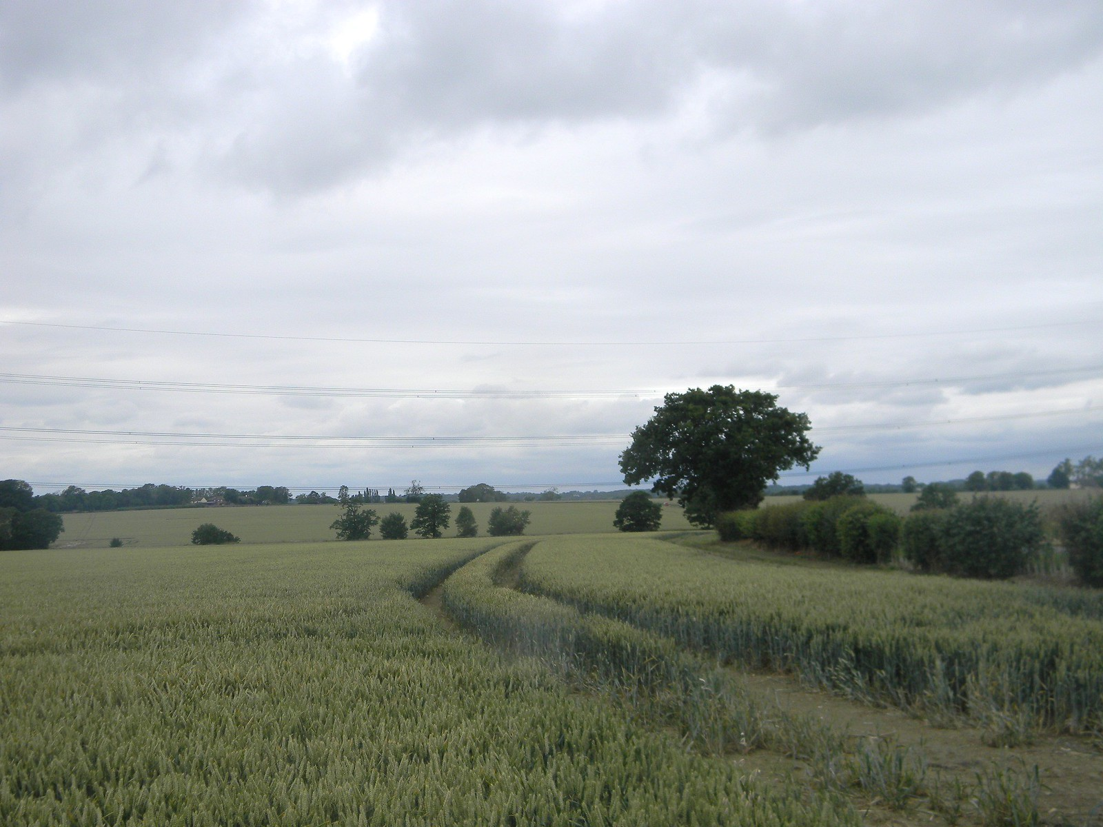 Wheatfield and tree Sawbridgeworth to Bishops Stortford
