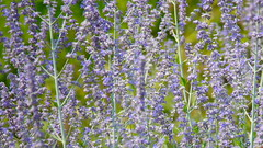 Washington Lavendar