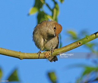 Blackcap female | by Gary Chalker, Thanks for over 4,000,000. views