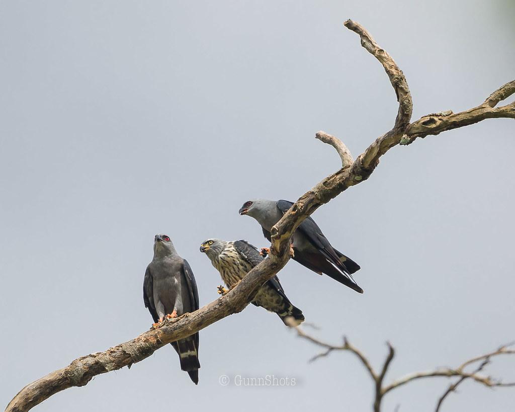 Plumbeous Kites