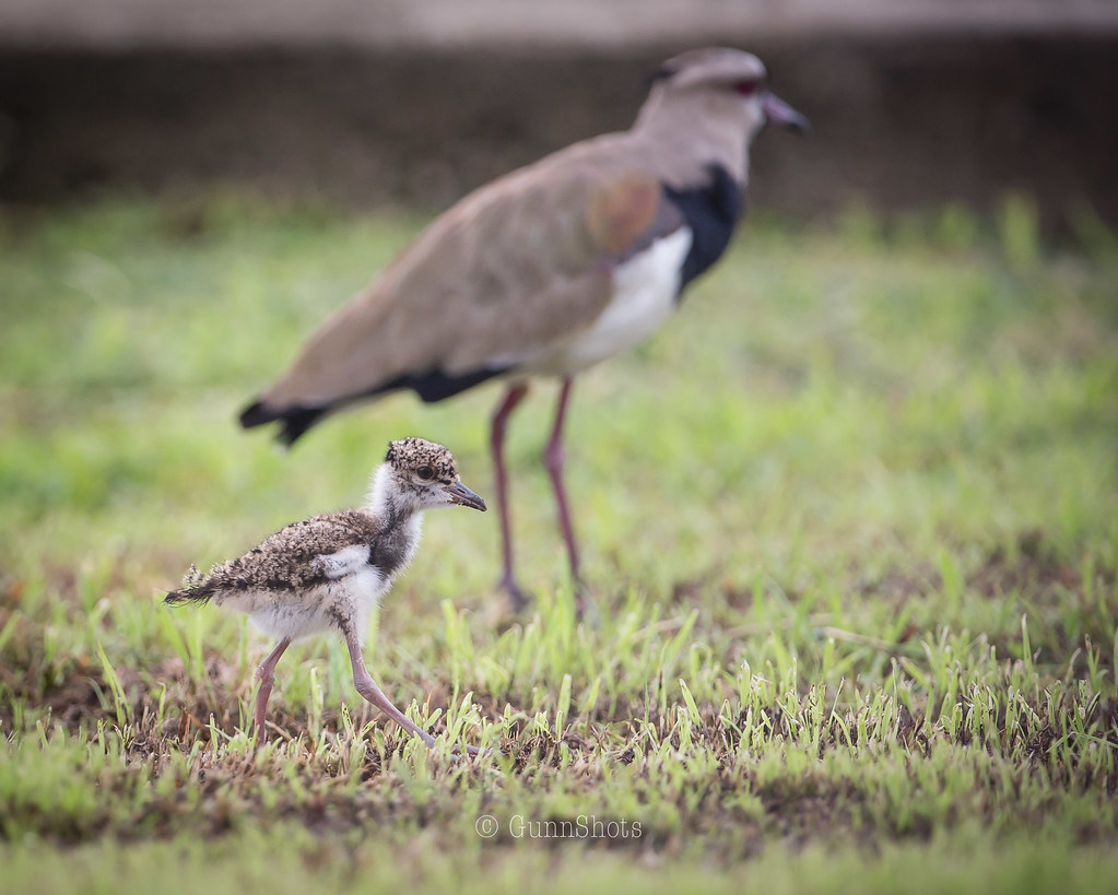 Southern Lapwing adult with chick