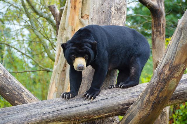 Malaysian Sun Bear (Helarctos malayanus)
