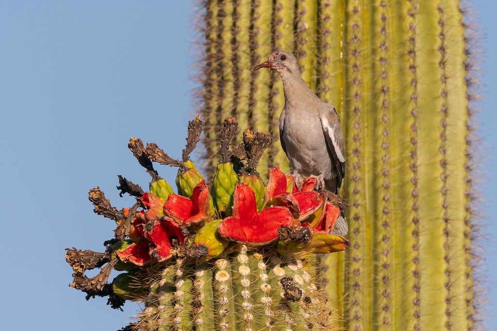 A white-winged dove perches on open saguaro fruit, its face drenched in saguaro fruit juice, on a summer morning on the Latigo Trail in McDowellSonoranPreserve in Scottsdale, Arizona in July 2018