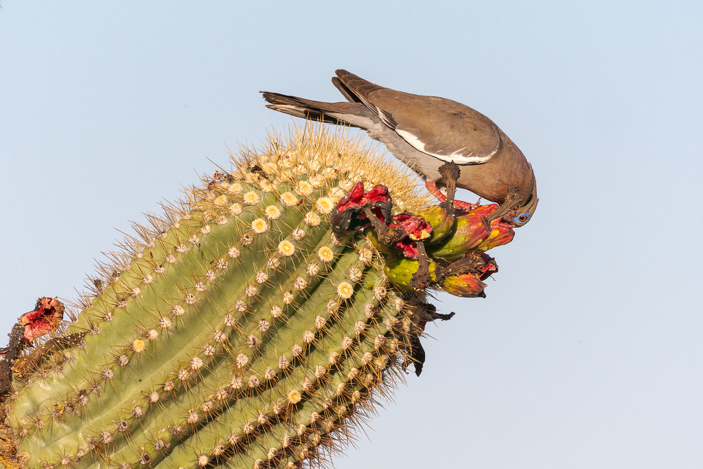 An adult white-winged dove leans over and sticks its face into opened saguaro fruit on the leaning arm of a saguaro on the Latigo Trail in the Brown's Ranch section of McDowell Sonoran Preserve in Scottsdale, Arizona in July 2018