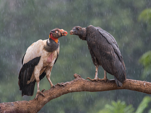King Vulture - adult and immature