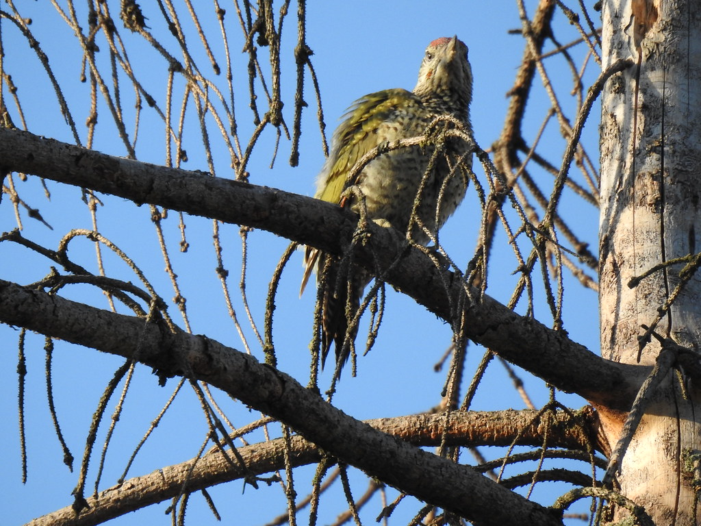 Green Woodpecker, Rači Potok, Košice, Slovakia, 6.7.2019
