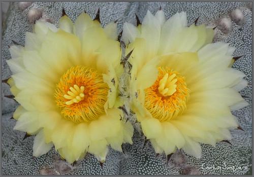 flores de astrophitum