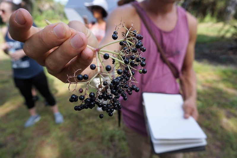 Elderberry - Green Deane of Eat the Weeks - Wild Edibles Class in Sarasota, June 2019