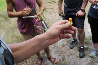 Ground Cherry - Green Deane of Eat the Weeds - Wild Edibles Class in Sarasota, June 2019 | by JenniferHuber