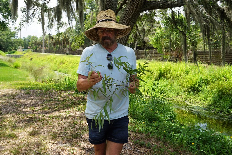 Carolina Willow - Green Deane of Eat the Weeds - Wild Edibles Class in Sarasota, June 2019