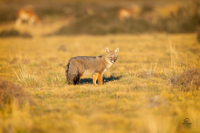 Patagonian Fox with Guanacos in BR