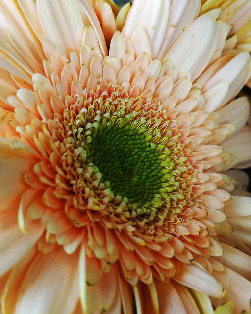 Flowers 06-26-19 (week 26-52) Pink Gerbera Daisy