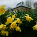Down Daffodils