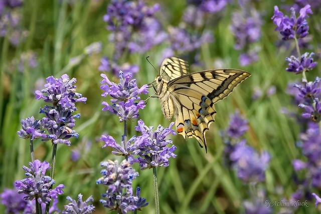 Ein schönes Geburtstagsgeschenk - Mein erster Schwalbenschwanz (Papilio machaon) in diesem Jahr