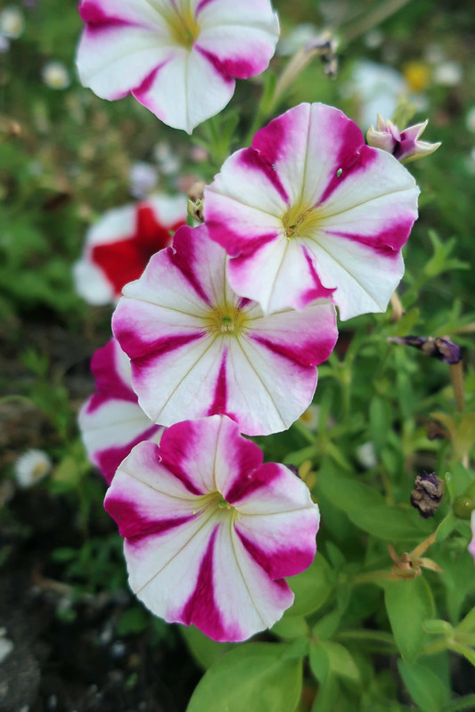 pink white petunia