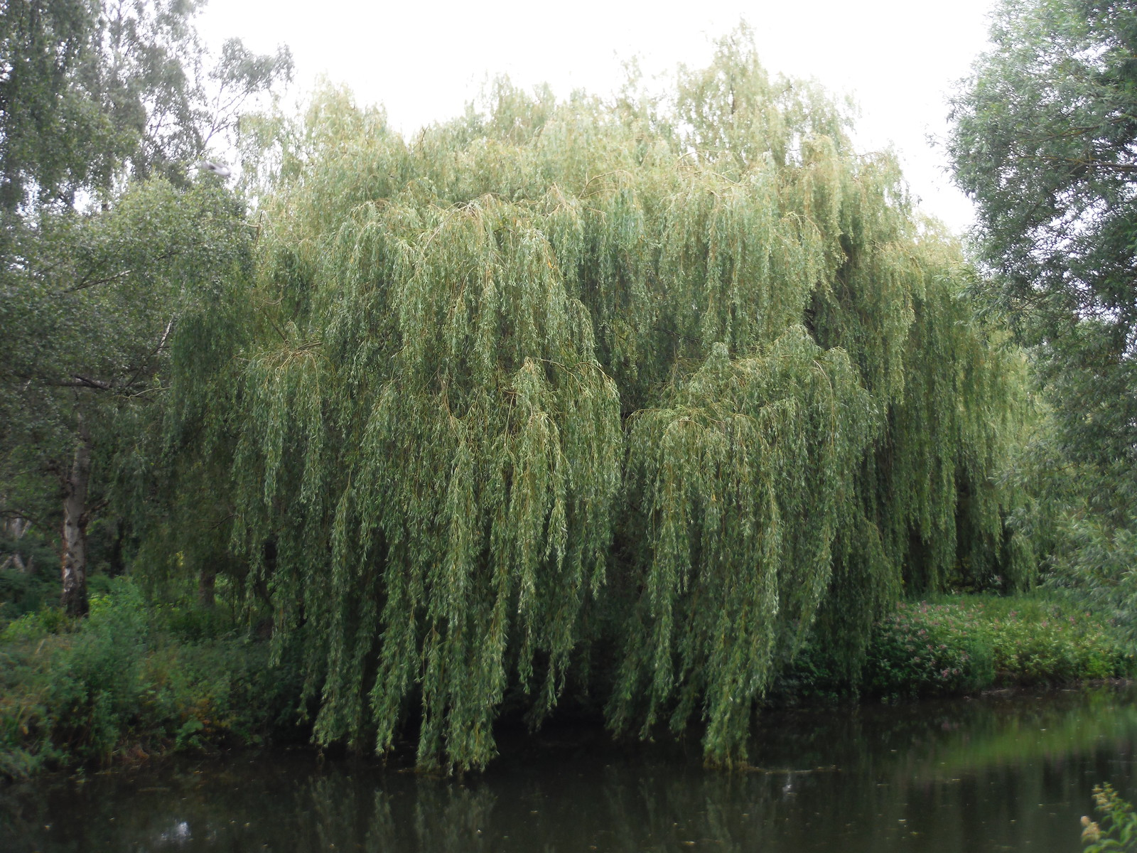 Willow, Twyford Bury, Stort Navigation SWC Walk 210 - Sawbridgeworth to Bishop's Stortfort (via Henry Moore Foundation)