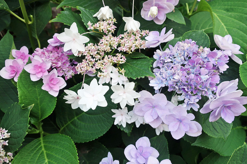 shooting star hydrangeas