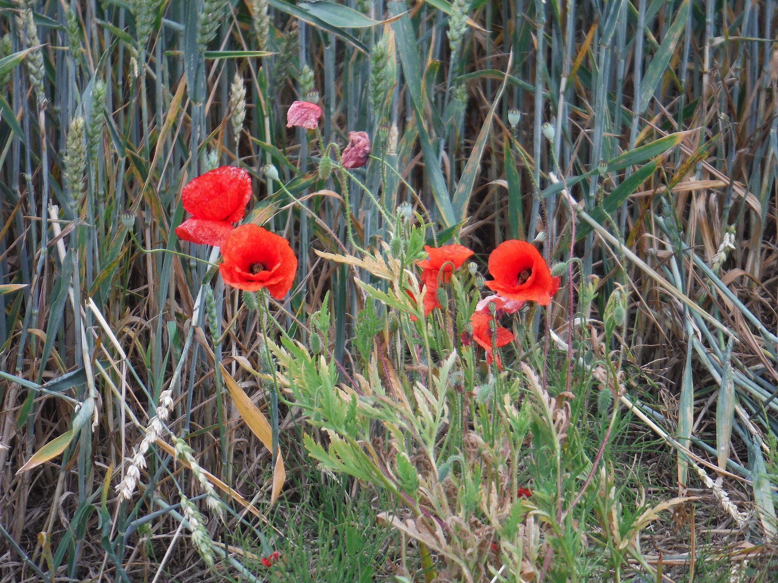 Poppies fieldside, Sacombs Ash SWC Walk 210 - Sawbridgeworth to Bishop's Stortfort (via Henry Moore Foundation)