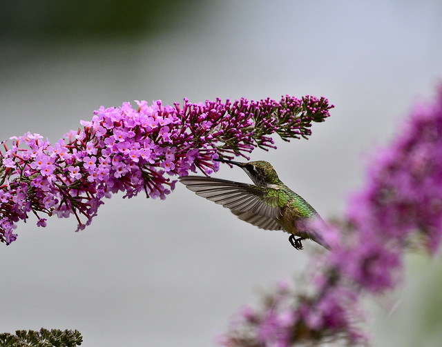 Hummingbird on Butterfly Bush, Middle Tennessee