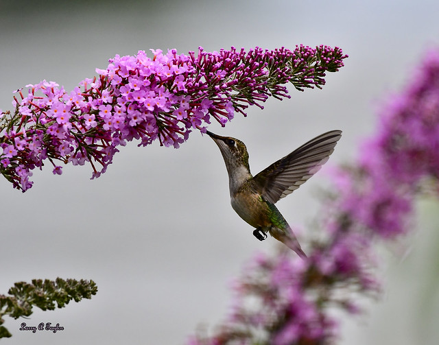 Hummingbird on Butterfly Bush
