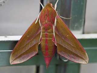 Deilephila elpenor, the elephant hawk moth