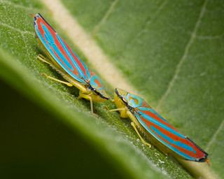 Candy Stripped Leaf Hoppers