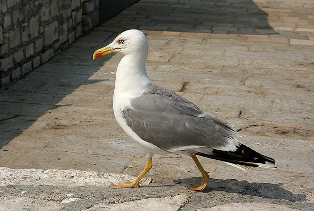 Self-Confident Seagull