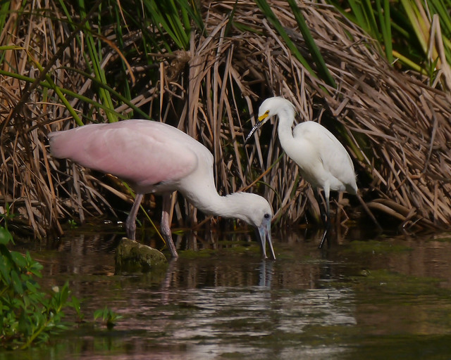 Roseate Spoonbill and Snowy Egret - 2