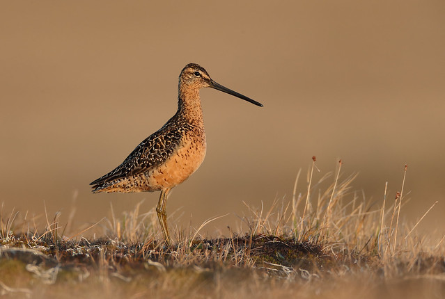 _Long Billed Dowitcher