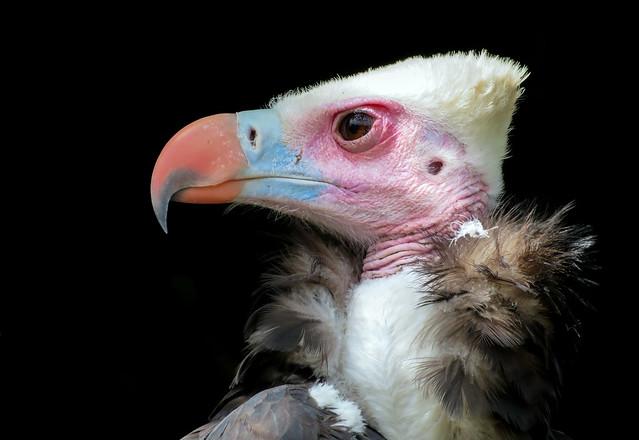 Portrait of a White Headed Vulture  (Trigonoceps occipitalis)