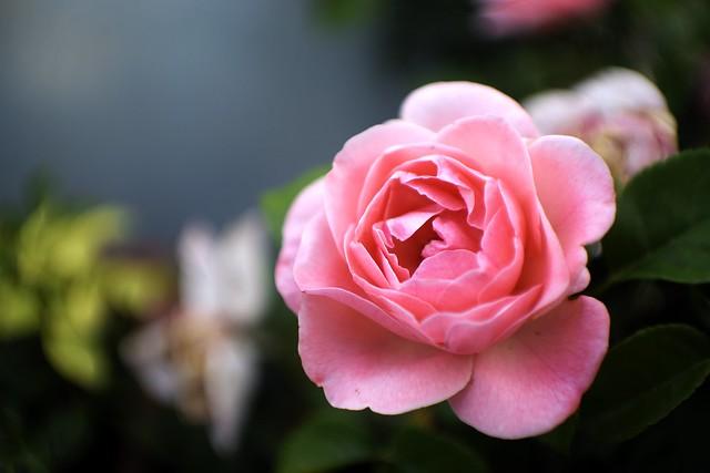 Rosa rosa / Pink rose