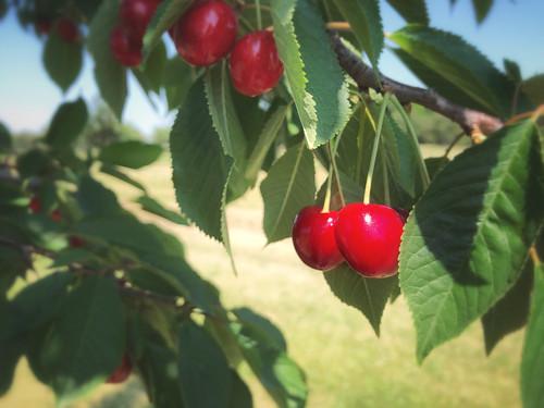 188/365 - cherries (Explored)