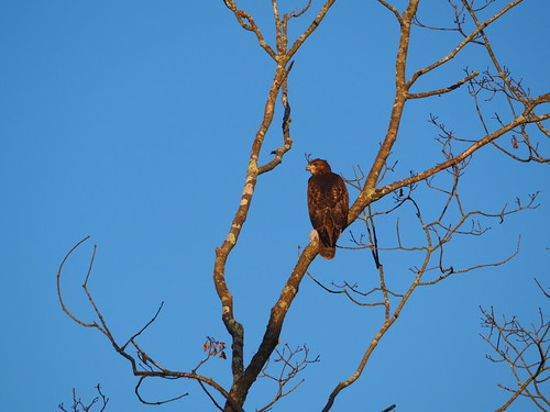 bird em10ii 75300 hawk raptor m43