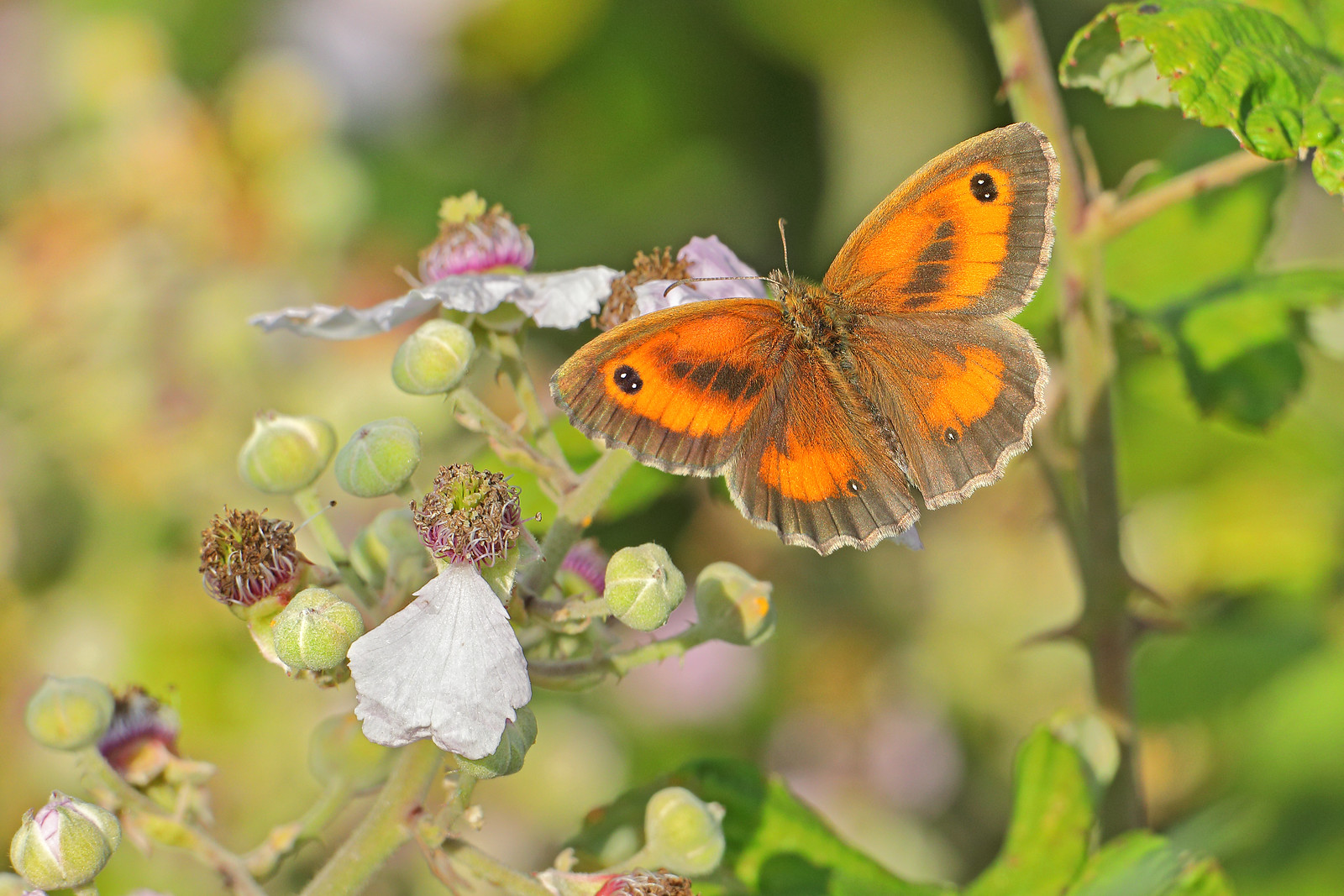 Gatekeeper on Brambles