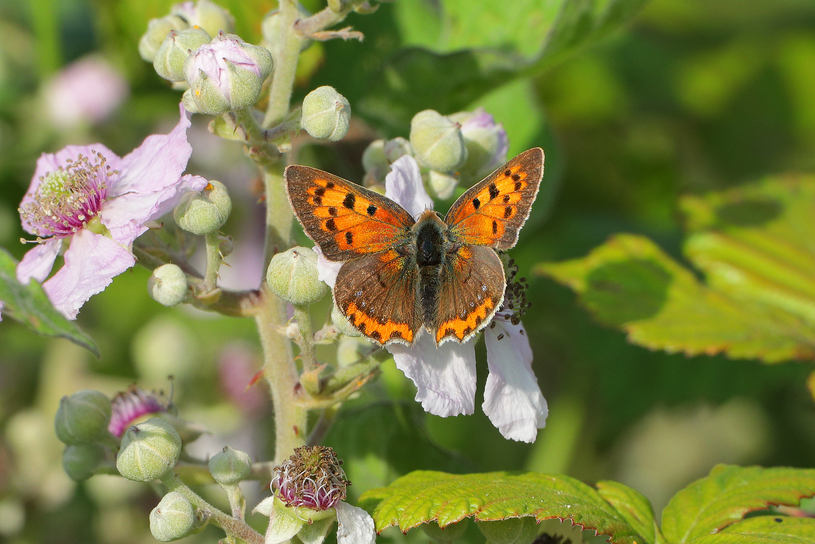 Small Copper on Brambles
