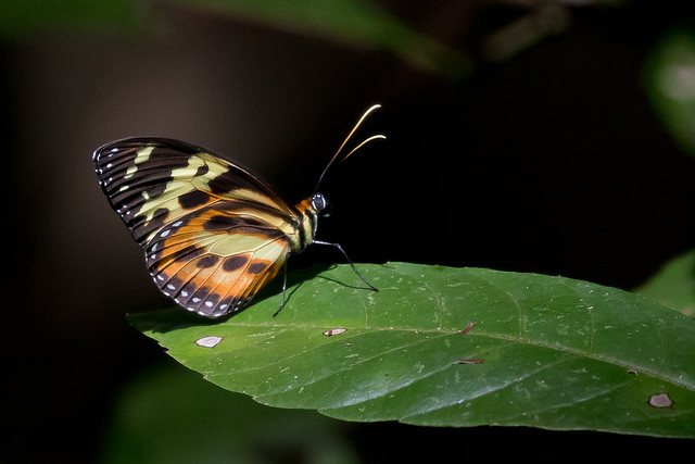 Harmonia Tiger-wing (Tithorea harmonia)
